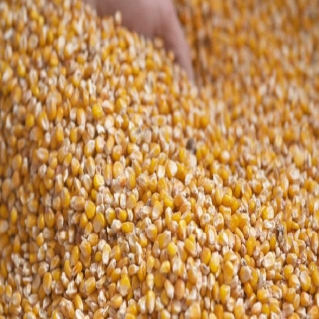 American standard quality 680 tons YELLOW CORN AND RED CORN FOR HUMAN CONSUMPTION & ANIMAL FEED FOR SALE