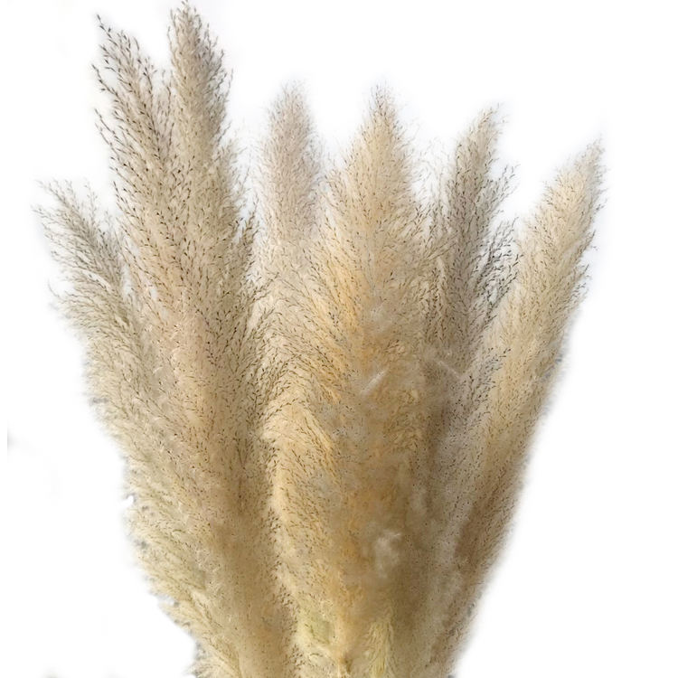 Yunnan Fabbrica Commercio All'ingrosso Fluffy Pampasgras Paux Phragmite Pampass Gras Wedding Decorare Bianco Secco Naturale Grande <span class=keywords><strong>Pampas</strong></span> Erba