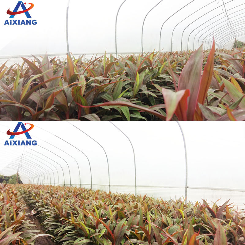 Agriculture Qualified Commercial Tunnel Film Greenhouse Large agricultural film greenhouse used for sale tomato