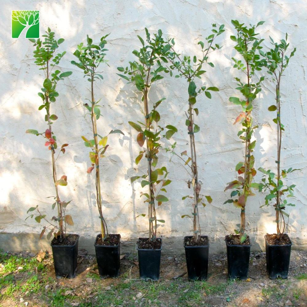 Hot sale fruit sapling Pistacia vera pistachio tree fruit seedling