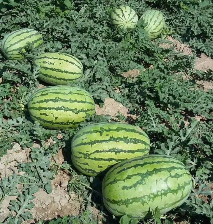 8th Emperor No.3 big size hybrid f1 watermelon seeds