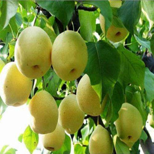 Farm Supply Wholesale Price Chinese Fresh Pear For Clearing Lung