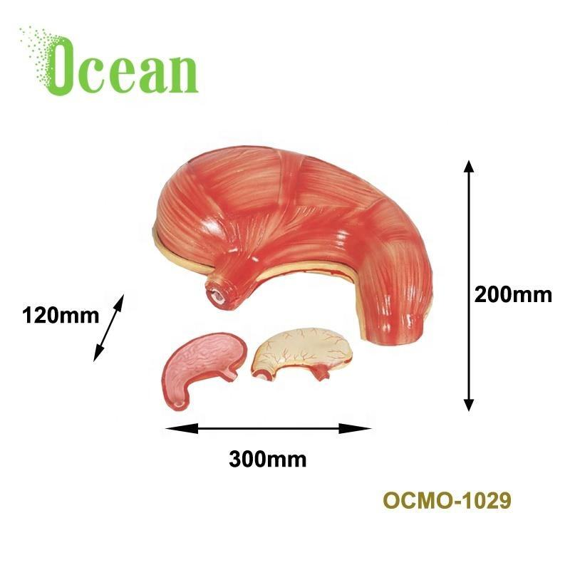 PVC Anatomical human stomach model for teaching medical model for Demonstration
