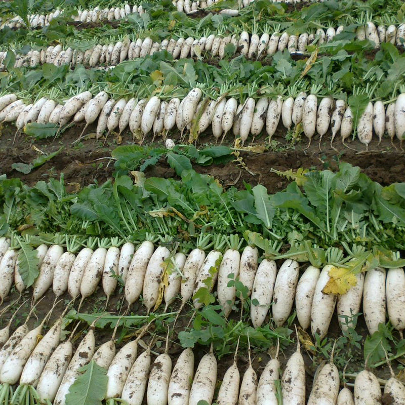 2020 Fresh Vegetable South Africa Radish / Ternip / Daikon with Lowest Price