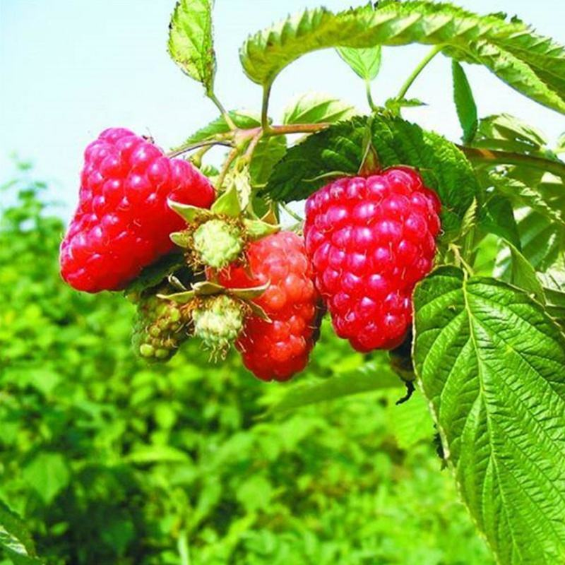 Wholesale High Quality Rubus Corchorifolius Seeds Fruit Raspberry Seeds For Planting