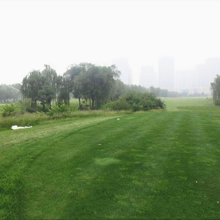 2020 Fresh Lawn Grass Seeds Annual Meadow Grass Seeds For Golf Course