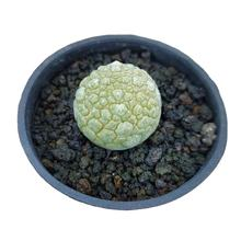 Wholesale seeding Cactus Succulent Plants indoor plant mini cactus Pseudolithos migiurtinus for home garden decoration