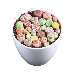 Lithops Mini Garden cactus Indoor Office Home Ornamental Colorful Growing Live Cactus 3-5 cm