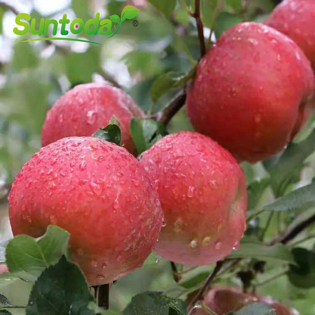 suntoday fresh fuji apple / golden apple