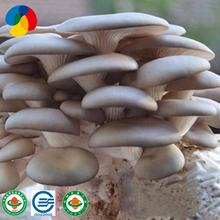 Factory Direct Sale  Best Selling Oyster Mushroom Spawn Cultivation Export Price