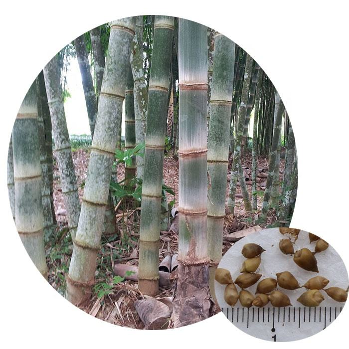 Tropical plant genuine Dendrocalamus asper giant bamboo seeds