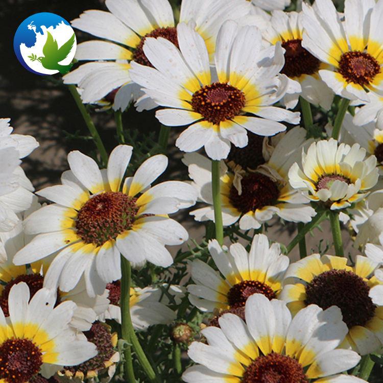 Chrysanthemum Seeds Plaza Exotic Plant Chrysanthemum Ornamental Flower Seeds Carinatum Chrysanthemum Seeds