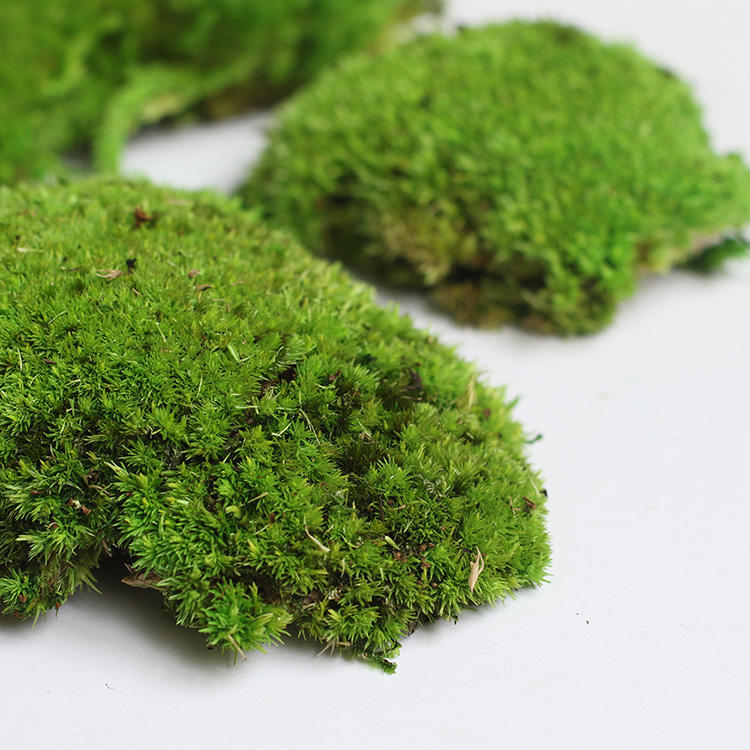 New Idea Eco-Friendly Wholesale Stabilized Preserved Pole Moss for Home Decoration