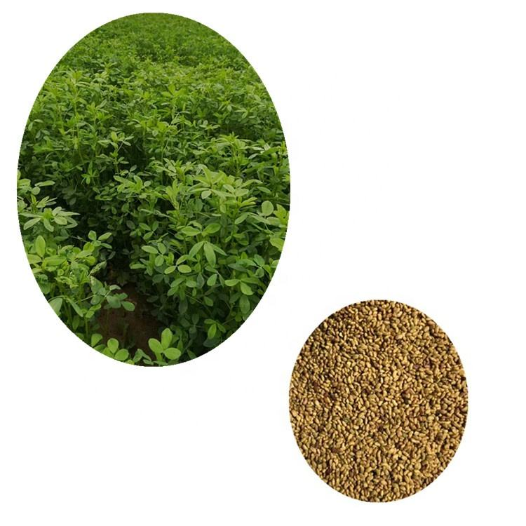 Chinese Pure Alfalfa seeds for Growing Animal Feed Grass Alfalfa medicago sativa seeds