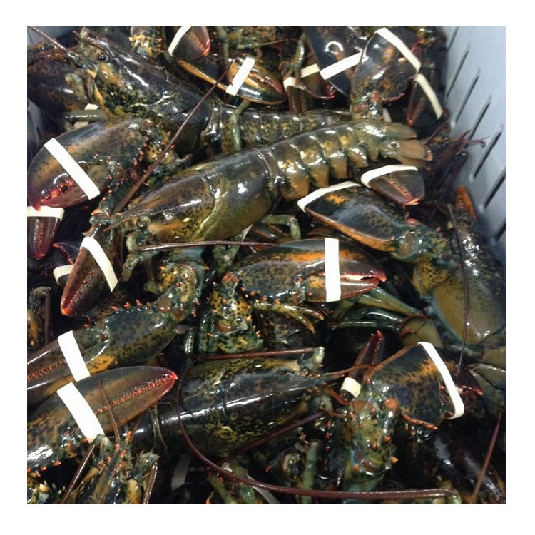 Seafood Fresh and frozen Lobster, LIVE and FRESH LOBSTER