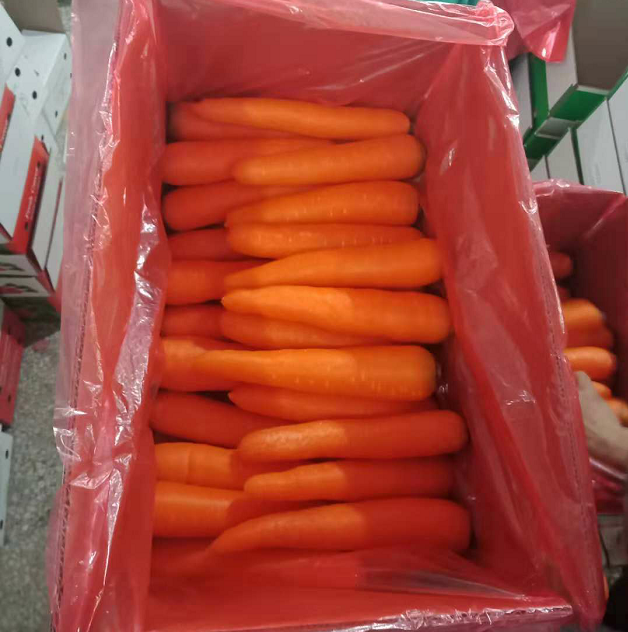 China best sale export quality fresh carrot