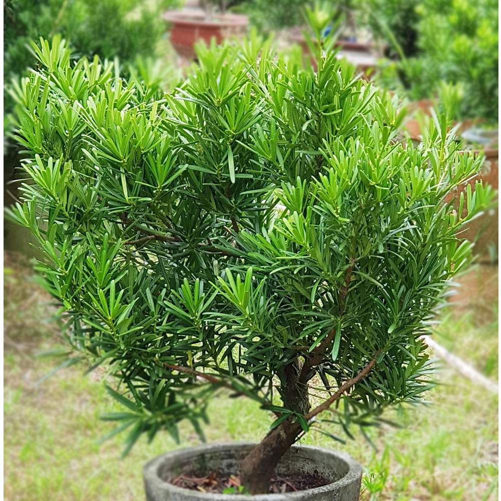 Podocarpus Height 80cm S form outdoor plant good for landscape wall decoration Yew podocarpus yew-pine Japanese yew