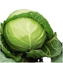 Newest season high quality Chinese cabbage hot sale, fresh organic cabbage for export