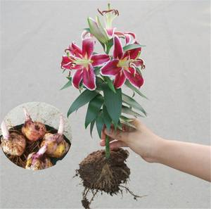 Catálogo de fabricantes de Bulbos De Flores Lilium de alta calidad y Bulbos De Flores Lilium en Alibaba.com