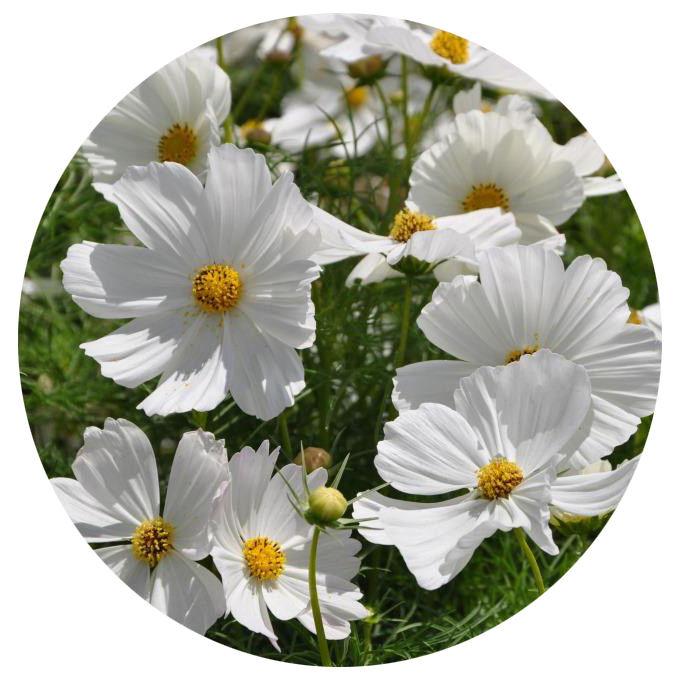 1000 seeds Cosmos flower seeds
