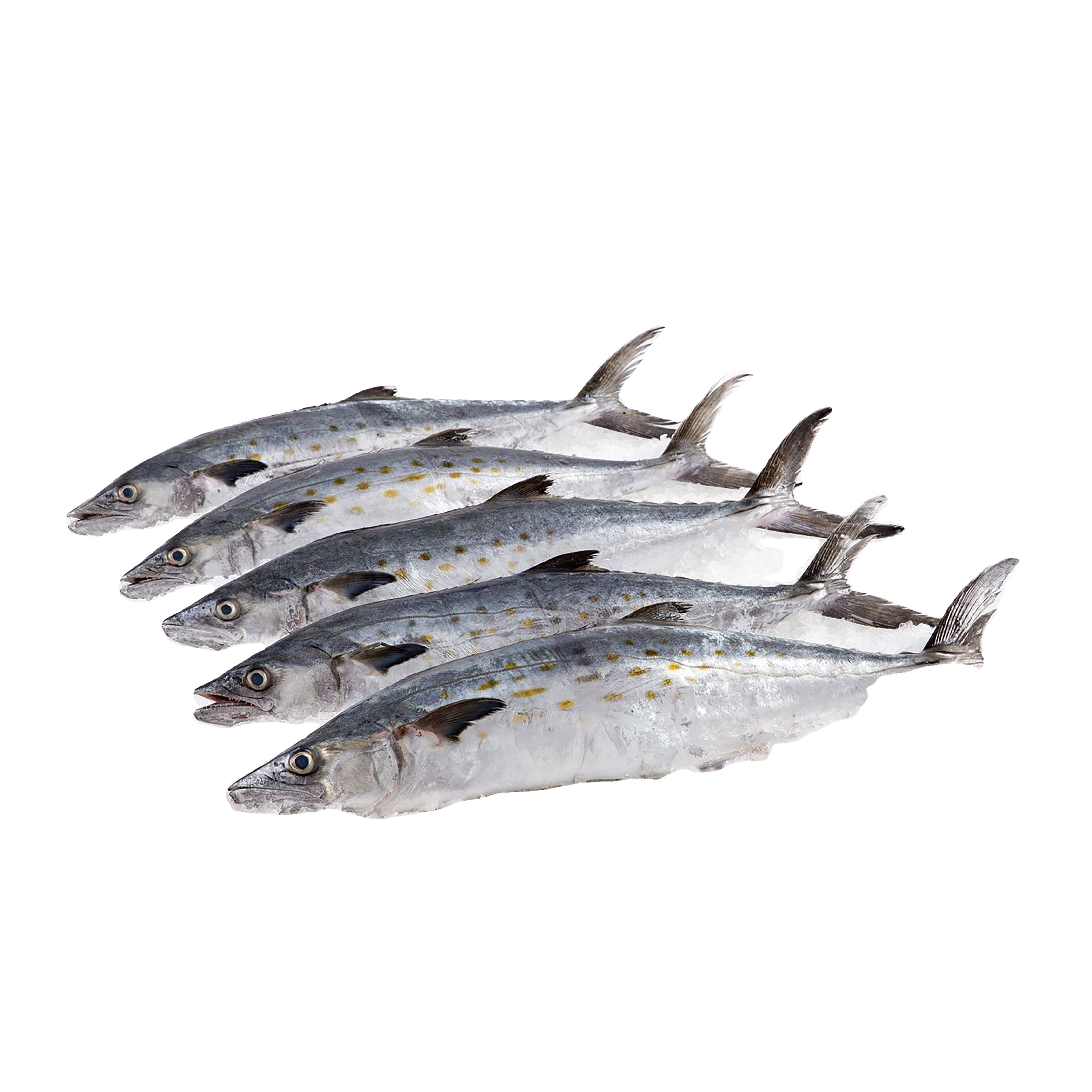 High Quality Frozen Fish spanish mackerel IQF For Competitive rates