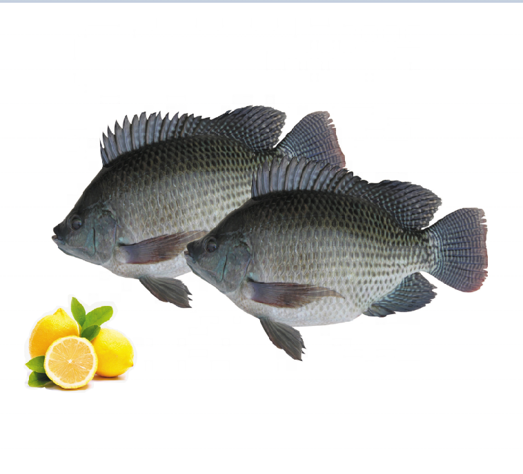 Whole round frozen black tilapia fish with wholesale price per kg