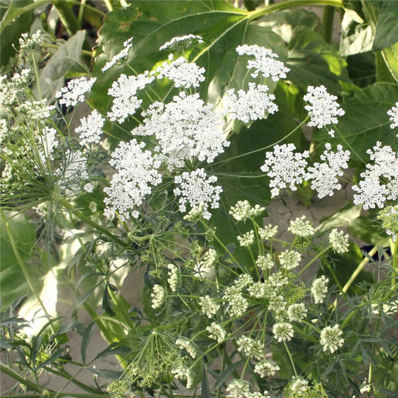 2021 Hot Sale Flower Seeds Dried Ammi Majus Seeds For Planting