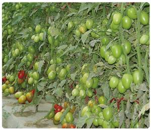 Good quality Hybrid Red Oval Tomato Seeds For Growing- INT01