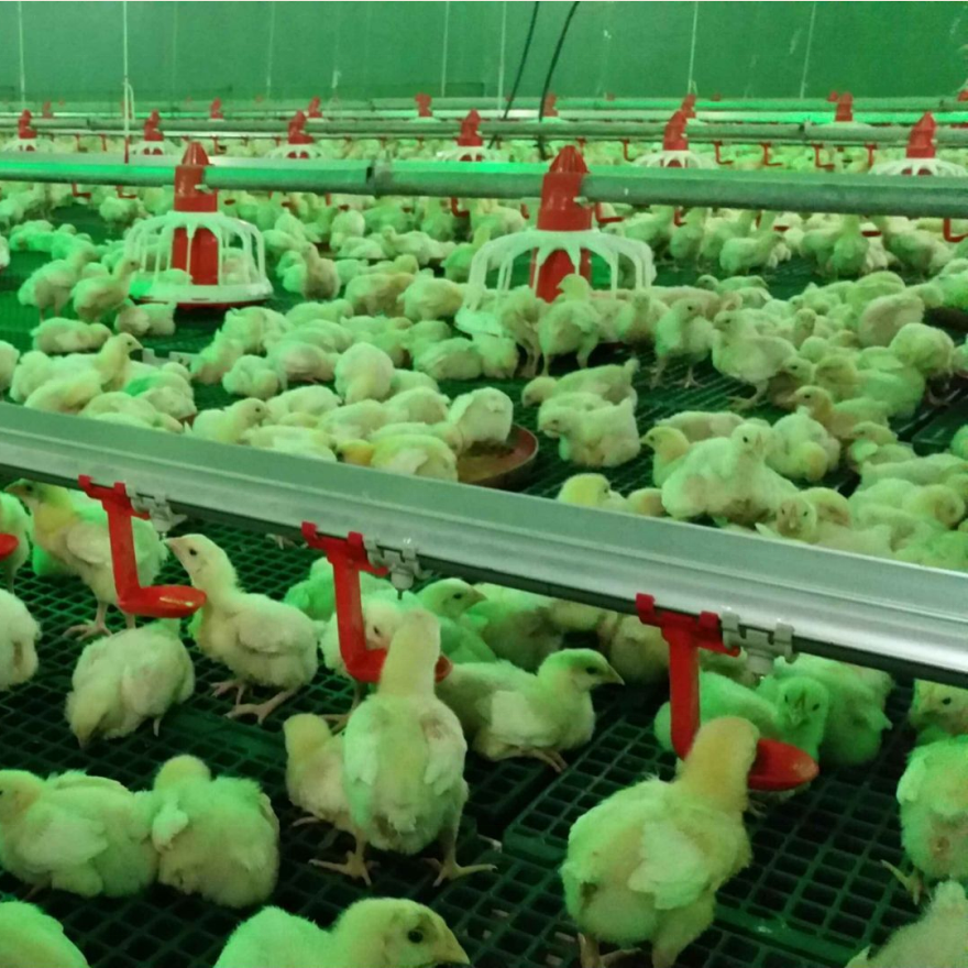 Poultry House Automatic Broiler Feeding And Drinking System Poultry House Shed Equipment