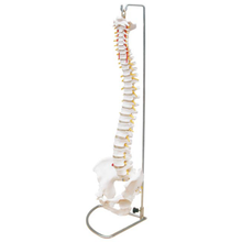 HSBM-104 Flexible Spine Model - Life Size Spinal Cord Model With Vertebrae, Nerves, Arteries, Lumbar Column, and Male Pelvis
