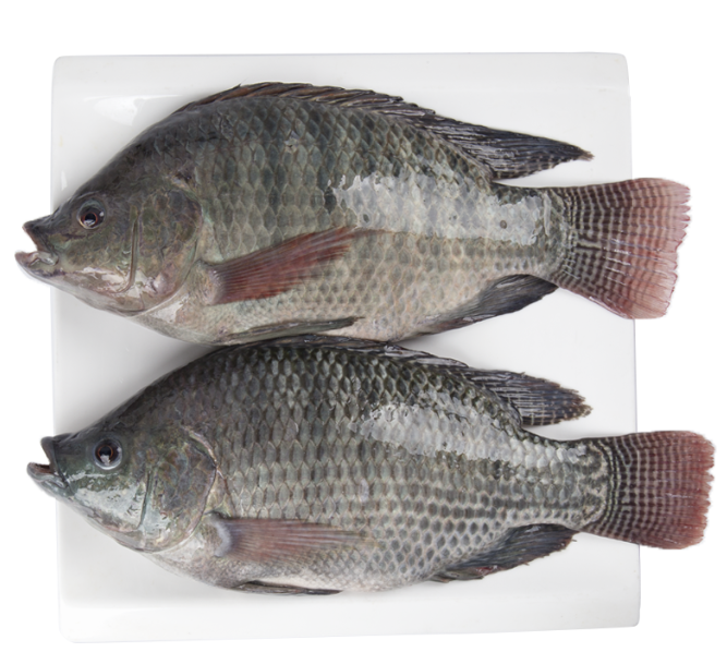 FROZEN BLACK TILAPIA/RED TILAPIA FISH WHOLE ROUND