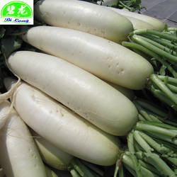 Chinese Fresh White radish direct manufacture  Shandong local