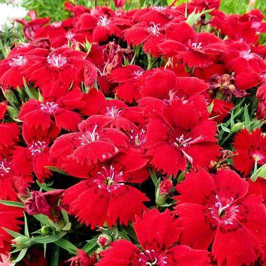 Hybrid F1 heat tolerance dianthus flower seeds