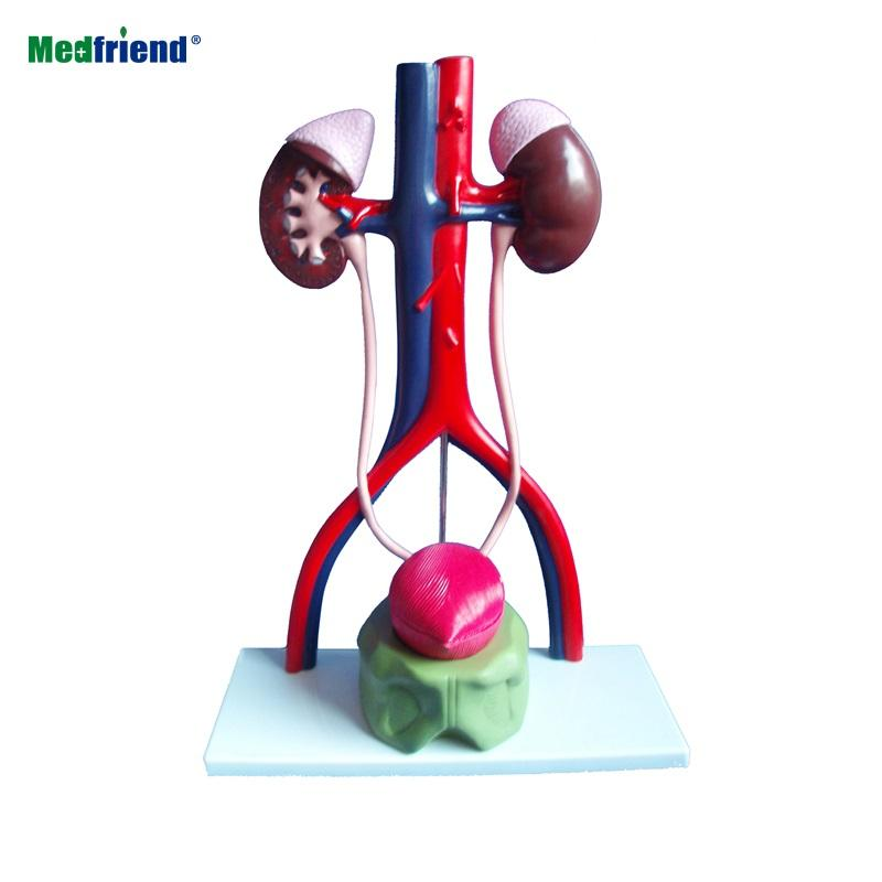 Male Urinary System Anatomical Model, Stands 13.5 Inches Tall, Features Kidneys with Adrenal Glands, Ureters, and Bladder, Inclu