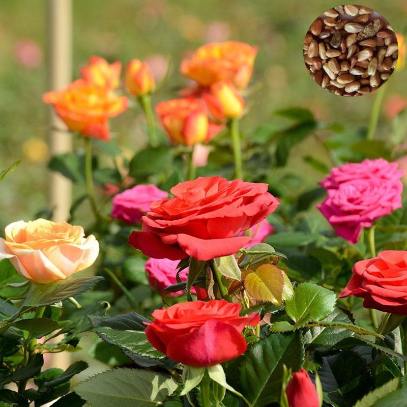 High Yield High Quality Colored Rose Flower Seeds For Planting Mixed Seeds Of Various Colors