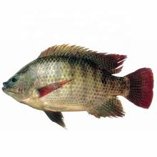 best quality frozen farm raised tilapia fish exporters wholesale price buyers in south africa