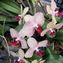 Wholesale Orchid phalaenopsis seedlings for sale