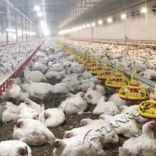 Poultry Farming Equipment Broiler Chicken Ground Floor Rearing System for Sale