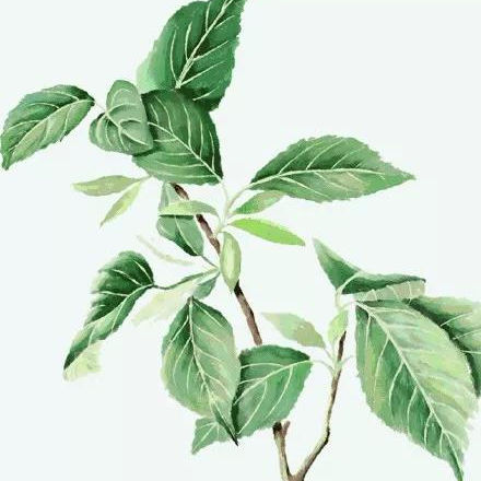 Eucommia bark ulmoides extract / leaves