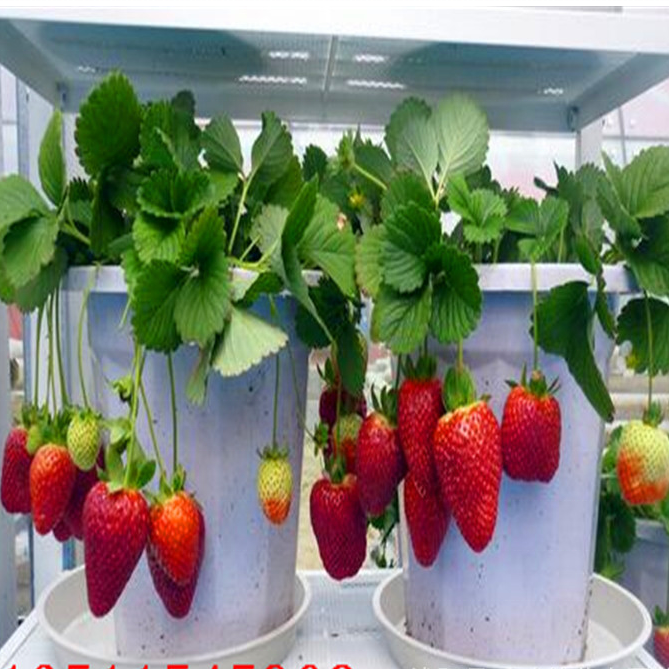 100pcs/bag Giant Red Strawberry Seeds, Garden Fruit Plant, Rare And Delicious