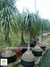 Beaucarnea recurvata ( nolina recurvata) ponytail palms as outdoor plants