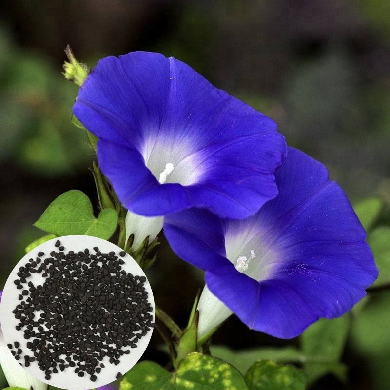 Morning Glory Seeds Have Medicinal Value Common Ornamental Plants Morning Glory