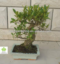Ficus microcarpa bonsai in 15cm,20cm ,25cm ,30cm pot,ball ,S shape