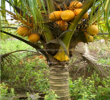 natural coconut fruit palm tree