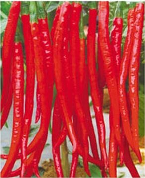 Long Red Hot Pepper Chili Seeds For Growing-FV 969