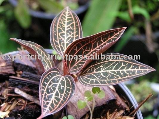Ludisia discolor or jewel orchid plant