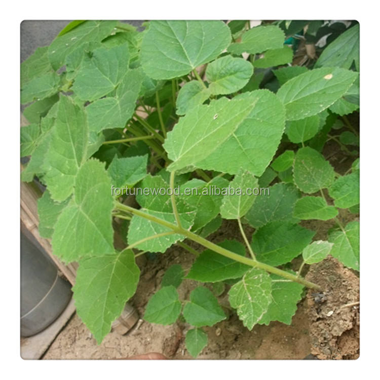 China paulownia tree roots for sale 99% survive