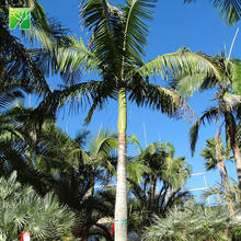 Farm price outdoor evergreen 35cm crown diameter king palm Archontophoenix alexandrae