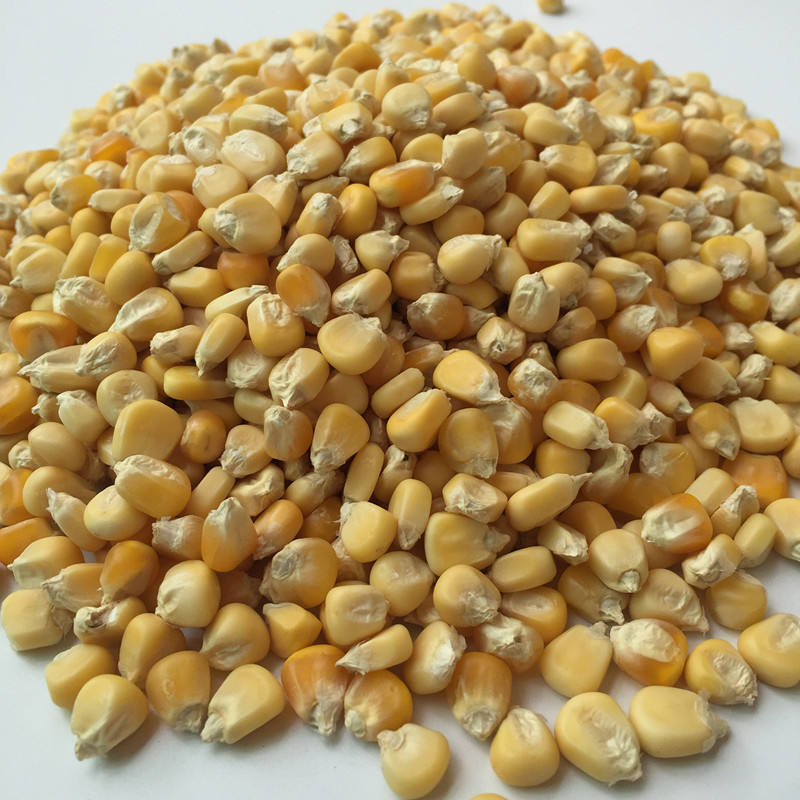 Chinese Hybrid F1 Yellow Glutinous Corn Seed For Planting