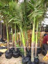 Archontophoenix alexandrae palm trees potted for container